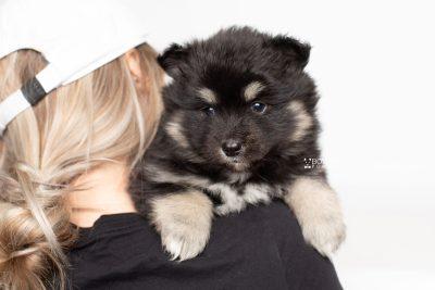 puppy226 week5 BowTiePomsky.com Bowtie Pomsky Puppy For Sale Husky Pomeranian Mini Dog Spokane WA Breeder Blue Eyes Pomskies Celebrity Puppy web7