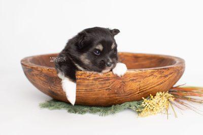 puppy227 week3 BowTiePomsky.com Bowtie Pomsky Puppy For Sale Husky Pomeranian Mini Dog Spokane WA Breeder Blue Eyes Pomskies Celebrity Puppy web3