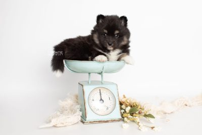 puppy227 week5 BowTiePomsky.com Bowtie Pomsky Puppy For Sale Husky Pomeranian Mini Dog Spokane WA Breeder Blue Eyes Pomskies Celebrity Puppy web1