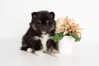 puppy227 week5 BowTiePomsky.com Bowtie Pomsky Puppy For Sale Husky Pomeranian Mini Dog Spokane WA Breeder Blue Eyes Pomskies Celebrity Puppy web5
