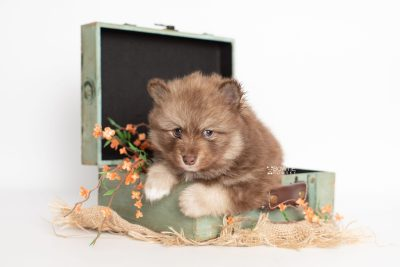 puppy229 week5 BowTiePomsky.com Bowtie Pomsky Puppy For Sale Husky Pomeranian Mini Dog Spokane WA Breeder Blue Eyes Pomskies Celebrity Puppy web3