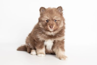 puppy229 week5 BowTiePomsky.com Bowtie Pomsky Puppy For Sale Husky Pomeranian Mini Dog Spokane WA Breeder Blue Eyes Pomskies Celebrity Puppy web6