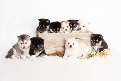 puppy230-238 week5 BowTiePomsky.com Bowtie Pomsky Puppy For Sale Husky Pomeranian Mini Dog Spokane WA Breeder Blue Eyes Pomskies Celebrity Puppy web