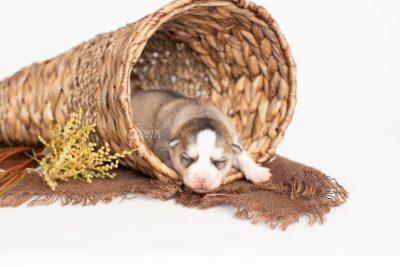puppy230 week1 BowTiePomsky.com Bowtie Pomsky Puppy For Sale Husky Pomeranian Mini Dog Spokane WA Breeder Blue Eyes Pomskies Celebrity Puppy web1
