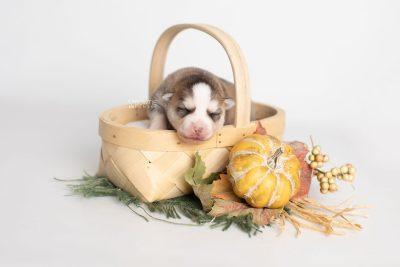 puppy230 week1 BowTiePomsky.com Bowtie Pomsky Puppy For Sale Husky Pomeranian Mini Dog Spokane WA Breeder Blue Eyes Pomskies Celebrity Puppy web2