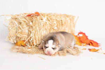 puppy230 week1 BowTiePomsky.com Bowtie Pomsky Puppy For Sale Husky Pomeranian Mini Dog Spokane WA Breeder Blue Eyes Pomskies Celebrity Puppy web4