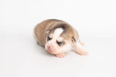 puppy230 week1 BowTiePomsky.com Bowtie Pomsky Puppy For Sale Husky Pomeranian Mini Dog Spokane WA Breeder Blue Eyes Pomskies Celebrity Puppy web6