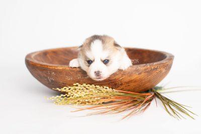 puppy230 week3 BowTiePomsky.com Bowtie Pomsky Puppy For Sale Husky Pomeranian Mini Dog Spokane WA Breeder Blue Eyes Pomskies Celebrity Puppy web2