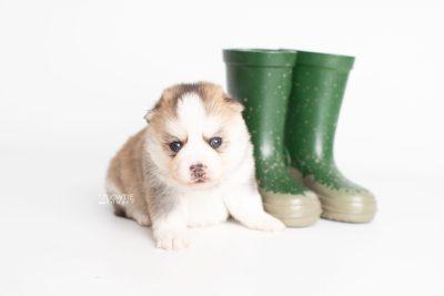 puppy230 week3 BowTiePomsky.com Bowtie Pomsky Puppy For Sale Husky Pomeranian Mini Dog Spokane WA Breeder Blue Eyes Pomskies Celebrity Puppy web5