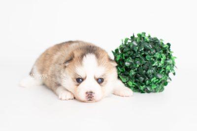 puppy230 week3 BowTiePomsky.com Bowtie Pomsky Puppy For Sale Husky Pomeranian Mini Dog Spokane WA Breeder Blue Eyes Pomskies Celebrity Puppy web7