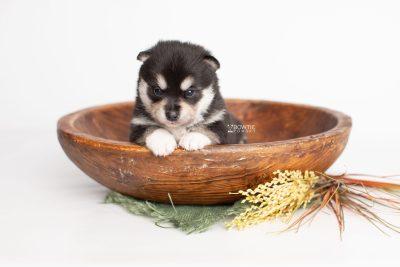 puppy231 week3 BowTiePomsky.com Bowtie Pomsky Puppy For Sale Husky Pomeranian Mini Dog Spokane WA Breeder Blue Eyes Pomskies Celebrity Puppy web3