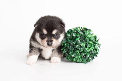 puppy231 week3 BowTiePomsky.com Bowtie Pomsky Puppy For Sale Husky Pomeranian Mini Dog Spokane WA Breeder Blue Eyes Pomskies Celebrity Puppy web5