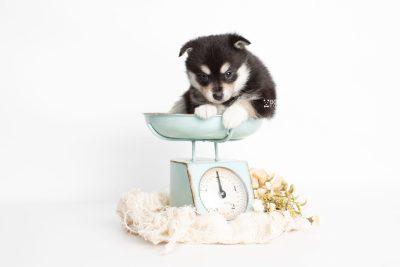 puppy231 week5 BowTiePomsky.com Bowtie Pomsky Puppy For Sale Husky Pomeranian Mini Dog Spokane WA Breeder Blue Eyes Pomskies Celebrity Puppy web1