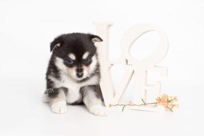 puppy231 week5 BowTiePomsky.com Bowtie Pomsky Puppy For Sale Husky Pomeranian Mini Dog Spokane WA Breeder Blue Eyes Pomskies Celebrity Puppy web5