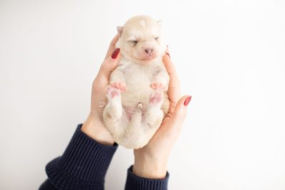 puppy232 week1 BowTiePomsky.com Bowtie Pomsky Puppy For Sale Husky Pomeranian Mini Dog Spokane WA Breeder Blue Eyes Pomskies Celebrity Puppy web6