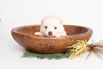 puppy232 week3 BowTiePomsky.com Bowtie Pomsky Puppy For Sale Husky Pomeranian Mini Dog Spokane WA Breeder Blue Eyes Pomskies Celebrity Puppy web3