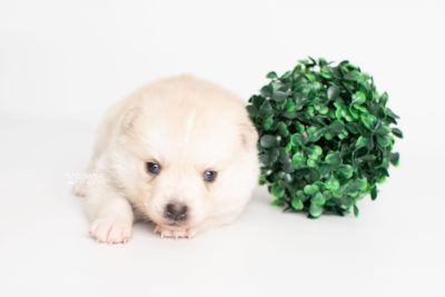 puppy232 week3 BowTiePomsky.com Bowtie Pomsky Puppy For Sale Husky Pomeranian Mini Dog Spokane WA Breeder Blue Eyes Pomskies Celebrity Puppy web4