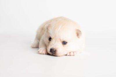 puppy232 week3 BowTiePomsky.com Bowtie Pomsky Puppy For Sale Husky Pomeranian Mini Dog Spokane WA Breeder Blue Eyes Pomskies Celebrity Puppy web6