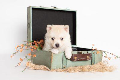 puppy232 week5 BowTiePomsky.com Bowtie Pomsky Puppy For Sale Husky Pomeranian Mini Dog Spokane WA Breeder Blue Eyes Pomskies Celebrity Puppy web3