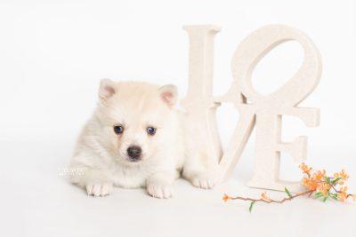 puppy232 week5 BowTiePomsky.com Bowtie Pomsky Puppy For Sale Husky Pomeranian Mini Dog Spokane WA Breeder Blue Eyes Pomskies Celebrity Puppy web4