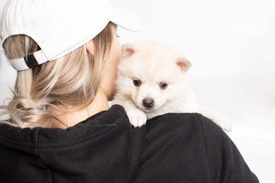 puppy232 week5 BowTiePomsky.com Bowtie Pomsky Puppy For Sale Husky Pomeranian Mini Dog Spokane WA Breeder Blue Eyes Pomskies Celebrity Puppy web7