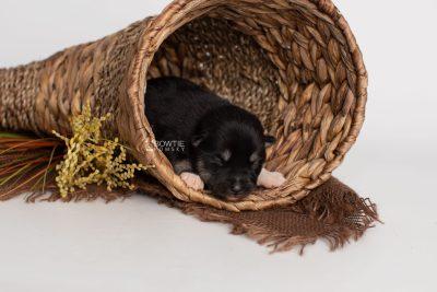 puppy234 week1 BowTiePomsky.com Bowtie Pomsky Puppy For Sale Husky Pomeranian Mini Dog Spokane WA Breeder Blue Eyes Pomskies Celebrity Puppy web1