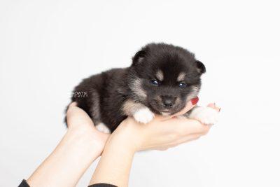 puppy234 week3 BowTiePomsky.com Bowtie Pomsky Puppy For Sale Husky Pomeranian Mini Dog Spokane WA Breeder Blue Eyes Pomskies Celebrity Puppy web8