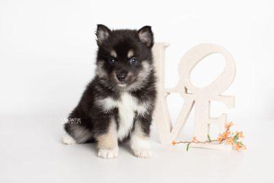 puppy234 week5 BowTiePomsky.com Bowtie Pomsky Puppy For Sale Husky Pomeranian Mini Dog Spokane WA Breeder Blue Eyes Pomskies Celebrity Puppy web4