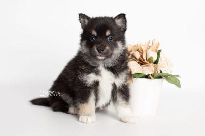 puppy234 week5 BowTiePomsky.com Bowtie Pomsky Puppy For Sale Husky Pomeranian Mini Dog Spokane WA Breeder Blue Eyes Pomskies Celebrity Puppy web5