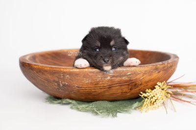 puppy235 week3 BowTiePomsky.com Bowtie Pomsky Puppy For Sale Husky Pomeranian Mini Dog Spokane WA Breeder Blue Eyes Pomskies Celebrity Puppy web3