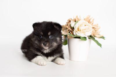 puppy235 week5 BowTiePomsky.com Bowtie Pomsky Puppy For Sale Husky Pomeranian Mini Dog Spokane WA Breeder Blue Eyes Pomskies Celebrity Puppy web4