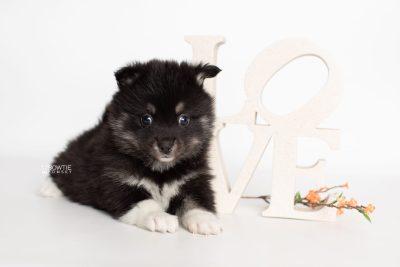puppy235 week5 BowTiePomsky.com Bowtie Pomsky Puppy For Sale Husky Pomeranian Mini Dog Spokane WA Breeder Blue Eyes Pomskies Celebrity Puppy web5