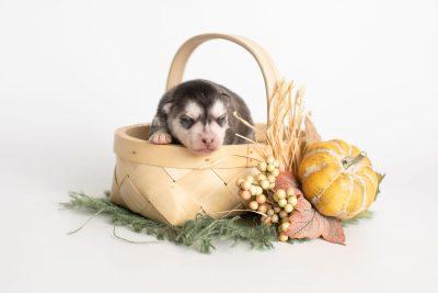 puppy238 week1 BowTiePomsky.com Bowtie Pomsky Puppy For Sale Husky Pomeranian Mini Dog Spokane WA Breeder Blue Eyes Pomskies Celebrity Puppy web2
