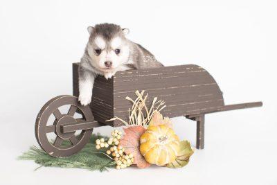 puppy238 week3 BowTiePomsky.com Bowtie Pomsky Puppy For Sale Husky Pomeranian Mini Dog Spokane WA Breeder Blue Eyes Pomskies Celebrity Puppy web1
