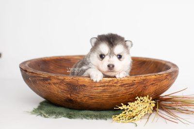puppy238 week3 BowTiePomsky.com Bowtie Pomsky Puppy For Sale Husky Pomeranian Mini Dog Spokane WA Breeder Blue Eyes Pomskies Celebrity Puppy web3