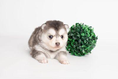 puppy238 week3 BowTiePomsky.com Bowtie Pomsky Puppy For Sale Husky Pomeranian Mini Dog Spokane WA Breeder Blue Eyes Pomskies Celebrity Puppy web5