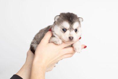 puppy238 week3 BowTiePomsky.com Bowtie Pomsky Puppy For Sale Husky Pomeranian Mini Dog Spokane WA Breeder Blue Eyes Pomskies Celebrity Puppy web7