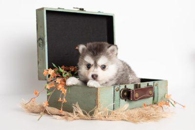 puppy238 week5 BowTiePomsky.com Bowtie Pomsky Puppy For Sale Husky Pomeranian Mini Dog Spokane WA Breeder Blue Eyes Pomskies Celebrity Puppy web4