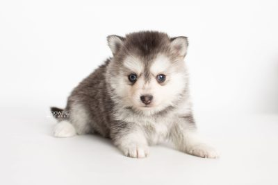 puppy238 week5 BowTiePomsky.com Bowtie Pomsky Puppy For Sale Husky Pomeranian Mini Dog Spokane WA Breeder Blue Eyes Pomskies Celebrity Puppy web7