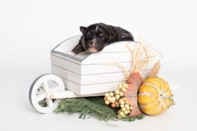puppy241 week1 BowTiePomsky.com Bowtie Pomsky Puppy For Sale Husky Pomeranian Mini Dog Spokane WA Breeder Blue Eyes Pomskies Celebrity Puppy web1
