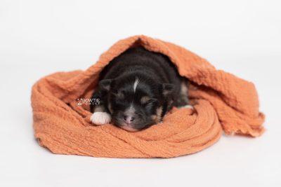 puppy241 week1 BowTiePomsky.com Bowtie Pomsky Puppy For Sale Husky Pomeranian Mini Dog Spokane WA Breeder Blue Eyes Pomskies Celebrity Puppy web5