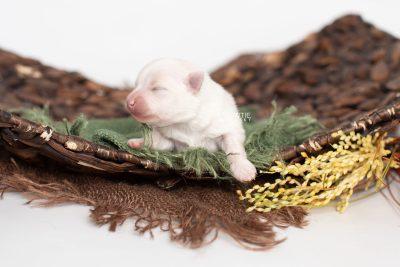 puppy242 week1 BowTiePomsky.com Bowtie Pomsky Puppy For Sale Husky Pomeranian Mini Dog Spokane WA Breeder Blue Eyes Pomskies Celebrity Puppy web5