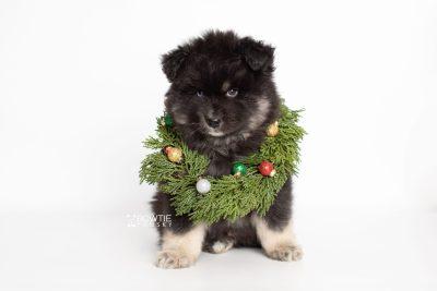 puppy213 week7 BowTiePomsky.com Bowtie Pomsky Puppy For Sale Husky Pomeranian Mini Dog Spokane WA Breeder Blue Eyes Pomskies Celebrity Puppy web3
