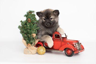 puppy214 week7 BowTiePomsky.com Bowtie Pomsky Puppy For Sale Husky Pomeranian Mini Dog Spokane WA Breeder Blue Eyes Pomskies Celebrity Puppy web2