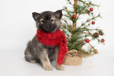 puppy214 week7 BowTiePomsky.com Bowtie Pomsky Puppy For Sale Husky Pomeranian Mini Dog Spokane WA Breeder Blue Eyes Pomskies Celebrity Puppy web3