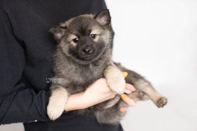puppy214 week7 BowTiePomsky.com Bowtie Pomsky Puppy For Sale Husky Pomeranian Mini Dog Spokane WA Breeder Blue Eyes Pomskies Celebrity Puppy web6