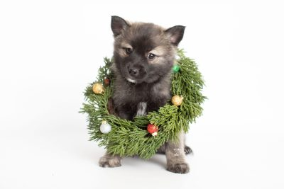 puppy215 week7 BowTiePomsky.com Bowtie Pomsky Puppy For Sale Husky Pomeranian Mini Dog Spokane WA Breeder Blue Eyes Pomskies Celebrity Puppy web4