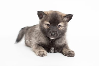 puppy215 week7 BowTiePomsky.com Bowtie Pomsky Puppy For Sale Husky Pomeranian Mini Dog Spokane WA Breeder Blue Eyes Pomskies Celebrity Puppy web5