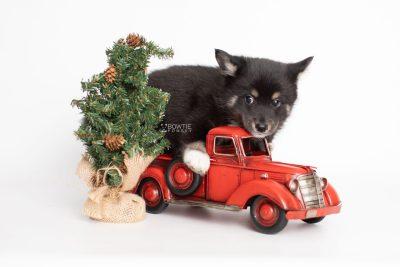 puppy217 week7 BowTiePomsky.com Bowtie Pomsky Puppy For Sale Husky Pomeranian Mini Dog Spokane WA Breeder Blue Eyes Pomskies Celebrity Puppy web2