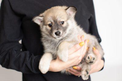puppy218 week7 BowTiePomsky.com Bowtie Pomsky Puppy For Sale Husky Pomeranian Mini Dog Spokane WA Breeder Blue Eyes Pomskies Celebrity Puppy web7